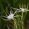 Spider Lily Wildflower, Hymenocallis liriosme, by the roadside near a lake on Texas 362.