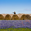 Woman taking photo with cell phone of hay bales in a field of Texas Bluebonnets, Lupinus texensis, and Indian Paintbrush, Castilleja indivisa,  near Whitehall, Texas.