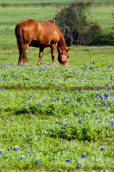 Horse in a field of Texas Bluebonnets, Lupinus texensis, on Texas highway 2, near Whitehall, Texas.