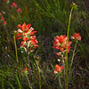 Tickseed, Coreopsis lanceolata, and Indian Paintbrush, Castilleja indivisa, wildflowers  by the side of the road on Texas 362.