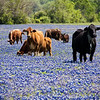 Cows in a field of Texas Bluebonnet wildflowers in April, along Texas highway 382 near Whitehall, Texas.