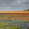 Texas Bluebonnets and Indian Paintbrush wildflowers near Independence, Texas.