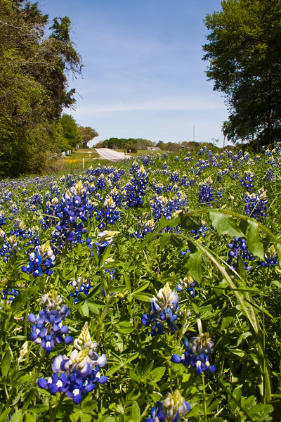 Texas Bluebonnet wildflowers, Lupinus texensis, along farm-to-market roads in Southeast Texas in the spring.