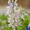 White Texas Bluebonnet (or Lupine), Lupinus texensis, at Mercer Arboretum in Spring, Texas.
