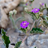 Umbrella-Wort wildflower, Allionia incarnata, in the Four-O'Clock Family (Nyctaginaceae), found at Boquillas Canyon in Big Bend National Park