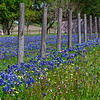 Texas Bluebonnets, Lupinus texensis, and Texas Dandelions (also called False Dandelions), Pyrrhopappus carolinianus, and other wildflowers along a fence line at Whitehall, Texas.