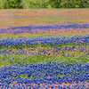 Texas Bluebonnets and Texas Indian Paintbrush wildflowers in bloom along Texas highway FM 362 near Whitehall.