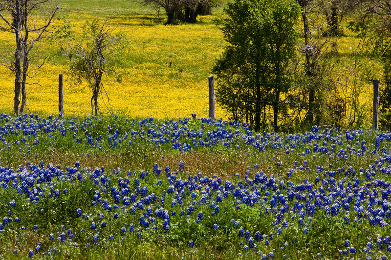 Texas Bluebonnet wildflowers, Lupinus texensis, against a backdrop of a field of yellow wildflowers along the side of Texas highway 105 near Brenham, Texas.