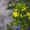 Creosote bush, Larrea tridentata, in flower in Big Bend National Park