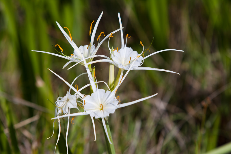 Spider Lily wildflower, Hymenocallis liriosme, growing along the side of the road along Texas highway 382 near Whitehall, Texas.