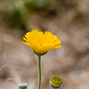 Desert Marigold, Baileya multiradiata<br /> Asteraceae family (Sunflower), in Big Bend National Park