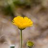 Desert Marigold, Baileya multiradiata<br /> Asteraceae family (Sunflower), in Big Bend National Park