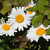 Oxeye Daisy, Leucanthemum vulgare, blooming in spring at the Antique Rose Emporium Gardens near Indpendence, Texas.