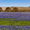 Hay Bales in a field of Texas Bluebonnets, Lupinus texensis, and Indian Paintbrush, Castilleja indivisa,  near Whitehall, Texas.