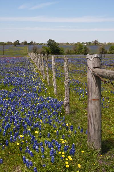Texas Bluebonnets, Lupinus texensis, with Texas Dandelion, Pyrrhopappus carolinianus, in fields along Texas highway 362 near Whitehall, Texas.