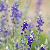 Big Bend Blue Bonnet, Lupinus havardii<br /> Fabaceae family<br /> Big Bend National Park