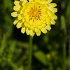 Texas Dandelion (or False Dandelion), Pyrrhopappus carolinianus, by the side of the road on Texas 362.