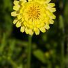 Texas Dandelion (or False Dandelion), Pyrrhopappus carolinianus, by the side of the road on Texas 362.