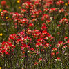 Indian Paintbrush, Castilleja indivisa, wildflowers along farm-to-market roads in Southeast Texas.