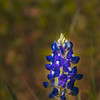 Early Texas Bluebonnets at the intersection of Texas highway 105 and Texas highway 50 near Brenham, Texas.