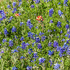 Texas Bluebonnets and Indian Paintbrush at Old Baylor College Park in Independence, Texas.