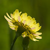 Backlit Texas Dandelion (or False Dandelion), Pyrrhopappus carolinianus, by the side of the road on Texas 362.
