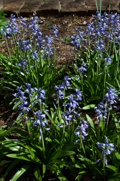 Spanish Bluebell, Hyacinthoides hispanica 'MIX', at Mercer Arboretum and Botanical Gardens in Spring, Texas.