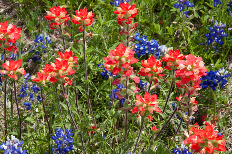 Texas Bluebonnet wildflowers, Lupinus texensis, and Indian Paintbrush, Castilleja indivisa, blooming in spring along farm-to-market road in Texas.