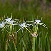 Spider Lily Wildflower, Hymenocallis liriosme, by the roadside near a lake on Texas 362.