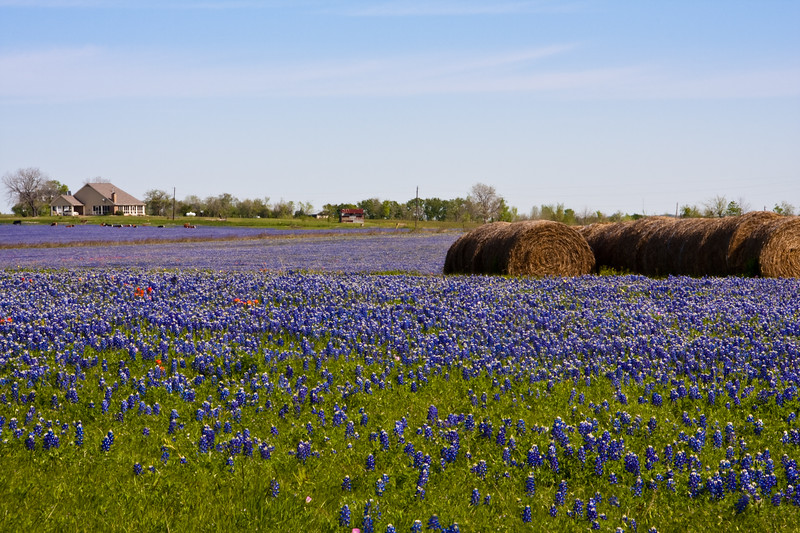 A field of Texas Bluebonnets, Lupinus texensis, with hay bales on a ranch along Texas highway 382 near Whitehall, Texas.