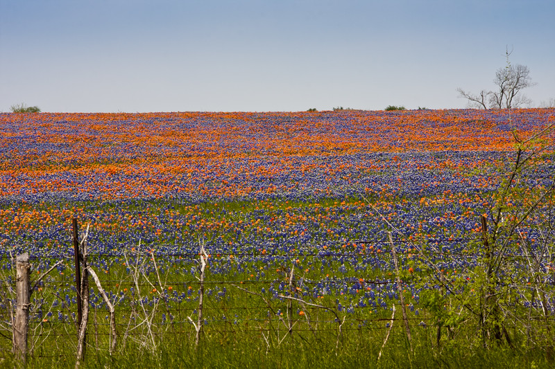 Field of Texas Bluebonnets, Lupinus texensis, and Indian Paintbrush, Castilleja indivisa, near Whitehall, Texas.