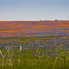 Field of Texas Bluebonnets, Lupinus texensis, and Indian Paintbrush, Castilleja indivisa, near Whitehall, Texas.