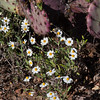 Plains Blackfoot wildflower,  Melampodium leucanthum, in Big Bend National Park in Texas.