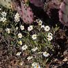 Plains Blackfoot wildflower,  Melampodium leucanthum, in Big Bend National Park in Texas.