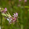 White Gaura wildflower, Gaura lindheimeri, blooming in spring at Old Baylor College historic site in Independence, Texas.