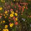 Lanceleaf Coreopsis, Coreopsis lanceolata, and Indian Paintbrush, Castilleja indivisa, wildflowers  by the side of the road on Texas 362.