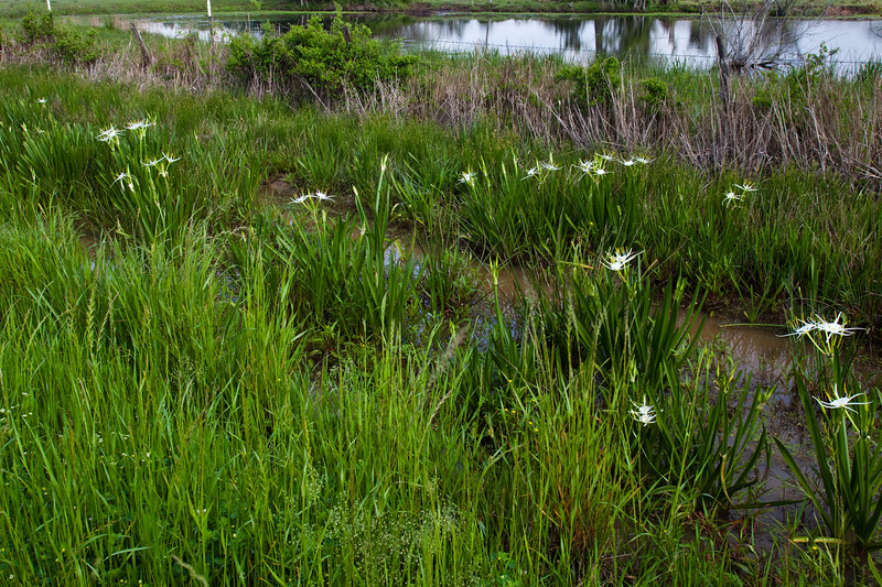 Spider Lily Wildflower, Hymenocallis caroliniana, by the roadside near a lake on Texas 362.
