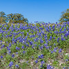 Texas Bluebonnets and other wildflowers at Old Baylor College Park in Independence, Texas.