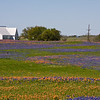 Country Church with a field of Texas Bluebonnets, Lupinus texensis, and Indian Paintbrush, Castilleja indivisa, at Whitehall, Texas.