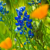 Bluebonnets and California Poppies at Mercer Arboretum and Botanical Gardens in Spring, Texas.