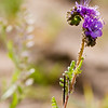 Gyp Phacelia wildflower, Phacelia integrifolia, Waterleaf family - Hydrophyllaceae,<br /> in Big Bend National Park