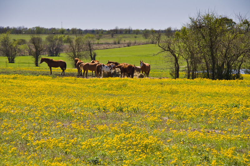 Horses in a field of yellow Coreopsis in bloom near Whitehall, Texas.