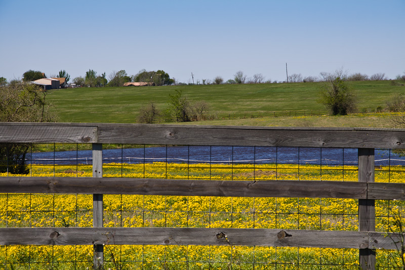 Field of yellow Coreopsis in bloom near Whitehall, Texas.