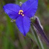 Spiderwort family wildflower, Tradescantia spp, by the roadside on Texas 362, near Whitehall, Texas.