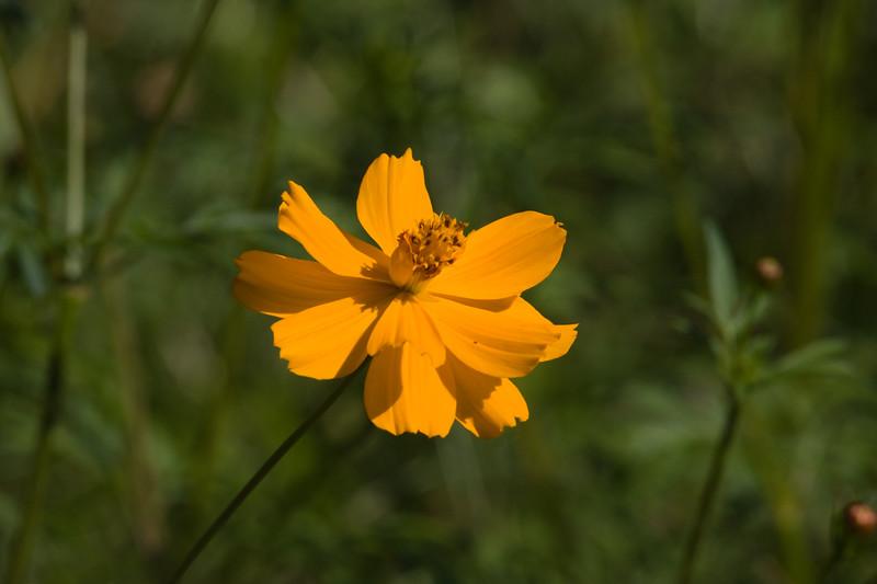 Cosmos flower in Mercer Arboretum and Botanical Gardens, Spring, Texas.