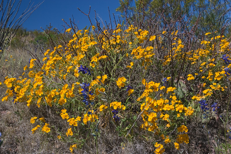 Woolly Paper Flower, Psilostrophe tagetina, in Big Bend National Park in Texas.