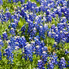 Wind (30 to 40 mph gusts) blowing field of Texas Bluebonnets. Bluebonnets appear to be dancing in the wind.