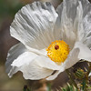 Chisos Prickly Poppy bloom, Argemone chisosensis, in Big Bend National Park in Texas.