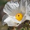 Chisos Prickly Poppy bloom, Argemone chisosensis, in Big Bend National Park in Texas.