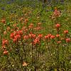 Indian Paintbrush, Castilleja indivisa, wildflowers along farm-to-market roads in Southeast Texas.